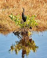 Anhinga (Anhinga anhinga). Black Point Wildlife Drive, Merritt Island Wildlife Refuge. Merritt Island, Brevard County, Florida. Image taken with a Nikon D3x camera and 300 mm f/2.8 VR lens.
