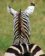 Juvenile Zebra foal Photographed in Kenya