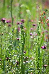 Eryngium yuccifolium and Liatris aspera in Tom Stuart-Smith's prairie meadow
