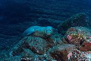Hawaiian monk seal, Neomonachus schauinslandi ( critically endangered and endemic to Hawaiian Islands ), Lehua Rock, near Niihau, off Kauai, Hawaii ( Central Pacific Ocean )