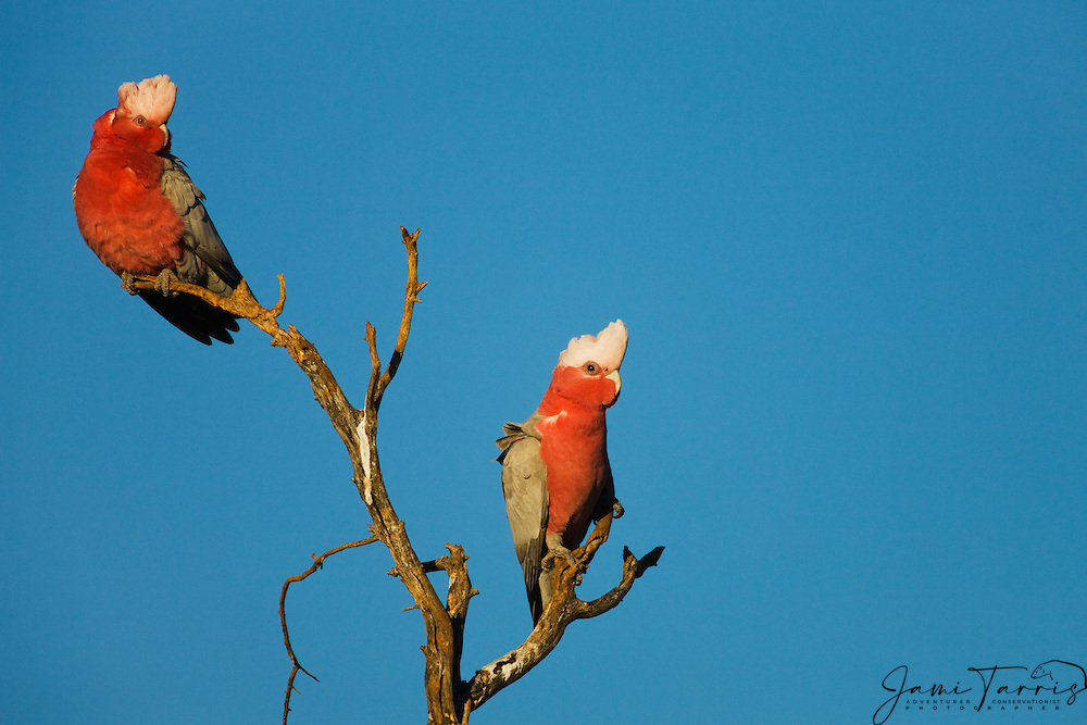 Pair of galahs (Eolophus roseicapillus) preparing to roost for the night, New South Wales,  Australia
