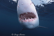 great white shark, white pointer, blue pointer, or man-eater<br /> Carcharodon carcharias, with fish hook and clump of parasites in upper jaw, Dyer Island, Gansbaai, South Africa ( Indian Ocean )