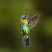 Fiery-throated Hummingbird (Panterpe insignis). Costa Rica