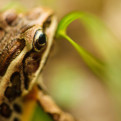 A pickerel frog, Rana palustris, in Vermont's Green Mountains. Mount Tabor Road.