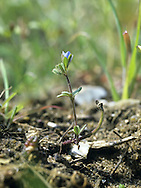 FINGERED SPEEDWELL Veronica triphyllos (Scrophulariaceae) Height to 10cm. Also rather similar to Wall Speedwell but note the palmately divided leaves, the lobes of which fancifully resemble fingers. The flowers are tiny and blue and bourne on slender stalks (Apr-July). It is a rare plant of unsprayed field margins in the Brecks.