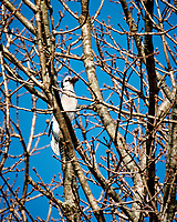 Blue Jay with a red berry. Late autumn monthly Sunday walk in the park. Hobler Park, Montgomery Township, New Jersey. Image taken with a Nikon 1 V3 camera and 70-300 mm VR lens.