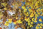 Leaves turn bright yellow and orange in late October at the main campground in Mammoth Cave National Park in Edmonson County, Kentucky, USA.