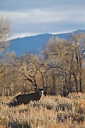 Trophy, nontypical, Mule Deer Buck