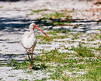 White Ibis. Weedon Island Preserve. St. Petersburg, Florida. Image taken with a Nikon D3x camera and 70-300 mm VR lens.