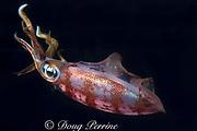 Caribbean reef squid or Atlantic oval squid, Sepioteuthis sepioidea, Commonwealth of Dominica ( Eastern Caribbean Sea )