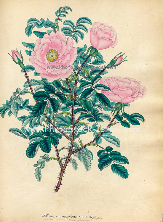 ROSA spinosissima, rubra ; Var. flore pleno. Red thorny Rose, Double flowered Variety  From the book Roses, or, A monograph of the genus Rosa : containing coloured figures of all the known species and beautiful varieties, drawn, engraved, described, and coloured, from living plants. by Andrews, Henry Charles, Published in London : printed by R. Taylor and Co. ; 1805.