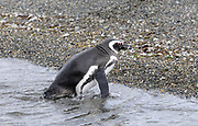 A Magellanic Penguin (Spheniscus magellanicus) leaves the sea at the breeding colony on Isla Martillo in the Beagle Channel. Ushuaia, Argentina. 13Feb16