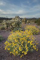Sonoran desert featuring Brittlebush (Encelia farinosa) and Jumping Cholla (Cylindropuntia fulgida), Superstition Mountains, Arizona