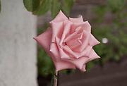 blooming pink garden rose
