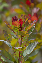Cotinus 'Old Fashioned'