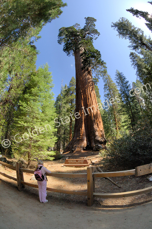 A young girl looking up at the General Grant Tree.    <br /> <br /> The General Grant is the largest Sequoia in the Grant Grove. The General Grant is estimated to be over 1650 years old. <br /> <br /> President Calvin Coolidge proclaimed it the Nations Christmas Tree in 1926. <br /> <br /> Each year a Christmas wreath is placed at its base in remembrance of those who gave their lives serving our country.    <br /> <br /> Species: Sequoiadendron giganteum
