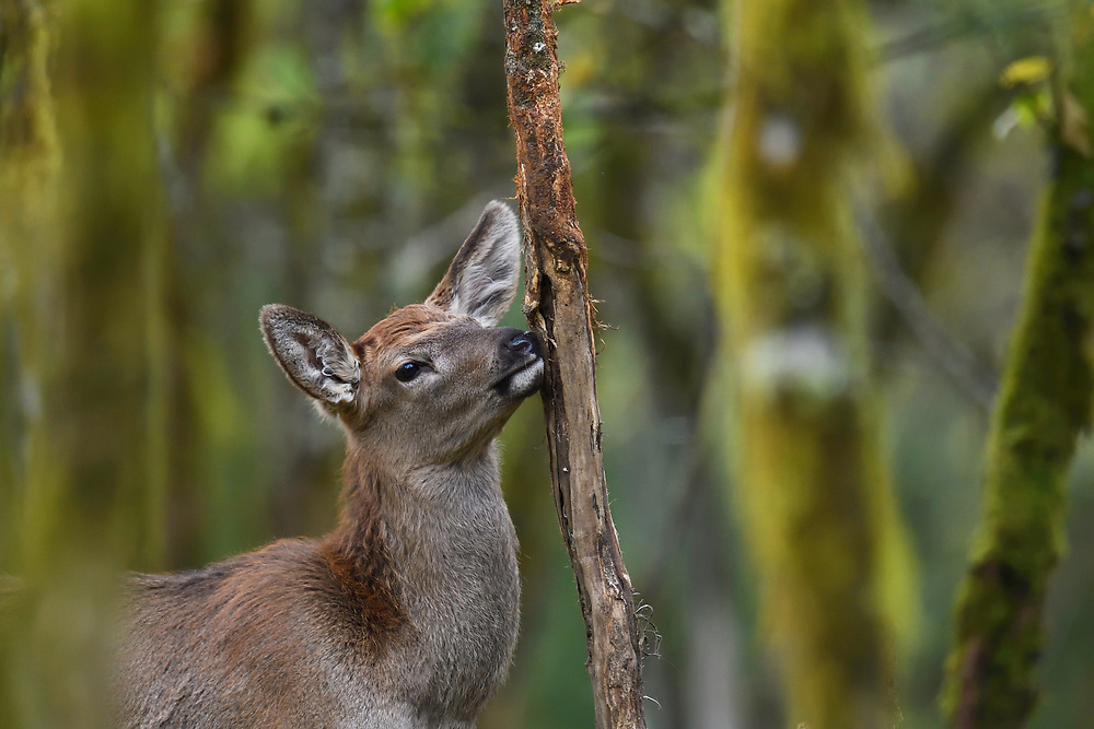 Red Deer, Cervus elaphus, in the humid montane mixed forest, Laba He National Nature Reserve, Sichuan, China