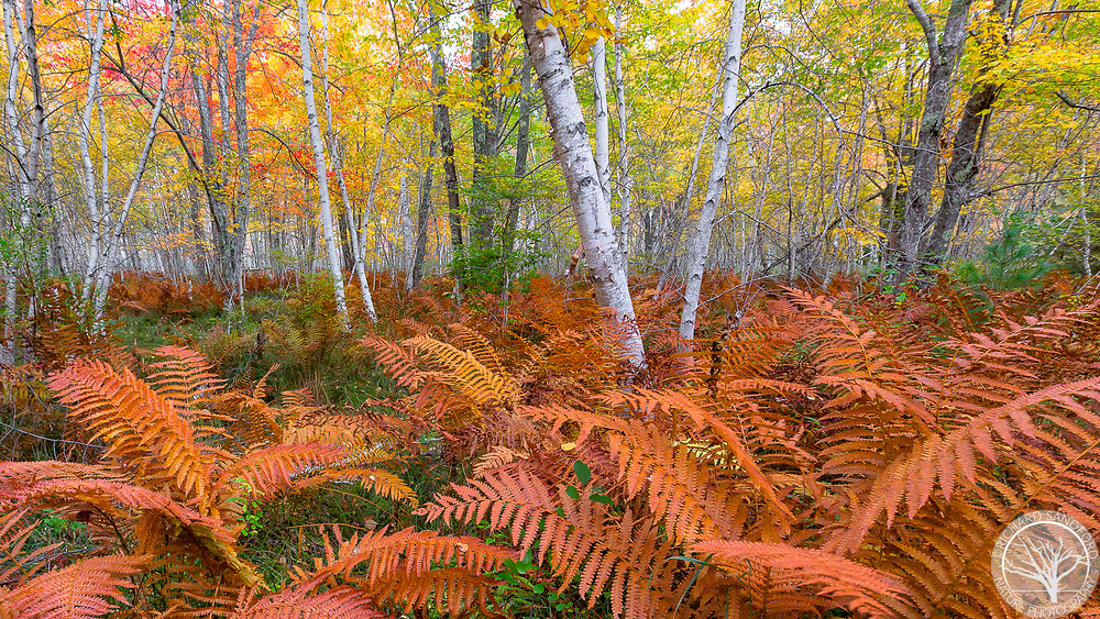 Late season ferns accent the white birch trees and other fall foliage colors. Sieur de Monts section of Acadia National Park, Maine