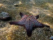 Panamic Cushion Sea Star, Galapagos
