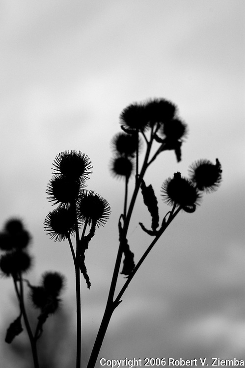 A minimal black and white image of a group of thistles in shallow focus showing the barbs in a sihlouette