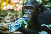 Close-up portrait of a chimpanzee (Pan troglodyte) chewing on a water bottle dropped by a tourist, Kibale National Park, Uganda, Africa
