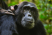 Two chimpanzees grooming (Pan troglodyte),Kibale National Park, Uganda, Africa