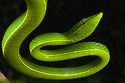 Green Vine Snake (Oxybelis fulgidus)<br /> Rain Forest<br /> Iwokrama Reserve<br /> GUYANA<br /> South America<br /> RANGE: Central America & Northern South America