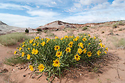Wide-angle view of mule's ear's flowers in bloom at White Pocket, Paria Canyon Wilderness, Arizona, US