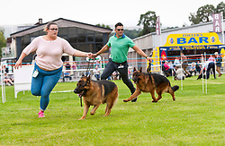 © Licensed to London News Pictures. 18/08/2018. Llanelwedd, Powys, UK. German Shepherd event takes place  on the second day of The Welsh Kennel Club Dog Show, held at the Royal Welsh Showground, Llanelwedd in Powys, Wales, UK. Photo credit: Graham M. Lawrence/LNP