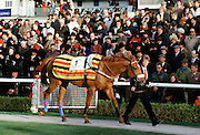 Racehorse number 1 being led around collecting ring at Cheltenham Racecourse for the National Hunt Festival of Racing, UK