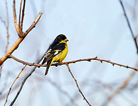 Lesser Goldfinch (Carduelis psaltria) perched in a tree, Jocotopec, Jalisco, Mexico
