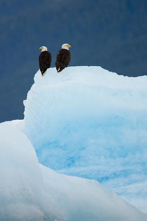 USA, Alaska, Holkham Bay, Bald Eagles (Haliaeetus leucocephalus) on iceberg from South Sawyer Glacier