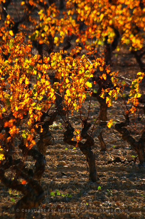 La Clape. Languedoc. Vines trained in Gobelet pruning. Vine leaves. Vineyard. France. Europe.
