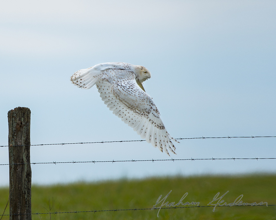 """A Snowy Owl launches from a perch on a fence post. <br /> <br /> This owl was not """"bumped"""" or disturbed for a flight shot. Being birds of the open tundra, Snowy Owls tend to perch wide out in the open on the ground, or on elevated perches, where they generally sit motionless for long periods during the day. Intentionally disturbing them off the perch (or simply pushing them by getting too close for comfort) is an all too common, and unethical, practice by some photographers hoping for some kind of action shot. It harasses the bird, causing it to needlessly expend its energy. <br /> <br /> This owl was on a working farm, and had flushed from further away when a farm worker got too close. After using this roost near me for about 30 minutes, it simply returned to its original spot, affording me this look at its outstretched wings."""