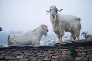 Some of the goats owned by sheepherders Miguel Martinez and his brother Paco, stand on a stonewall on a freezing foggy April morning in the village of Zarzuela de Jadraque, Spain. (Miguel Martinez is featured in the book What I Eat: Around the World in 80 Diets.)