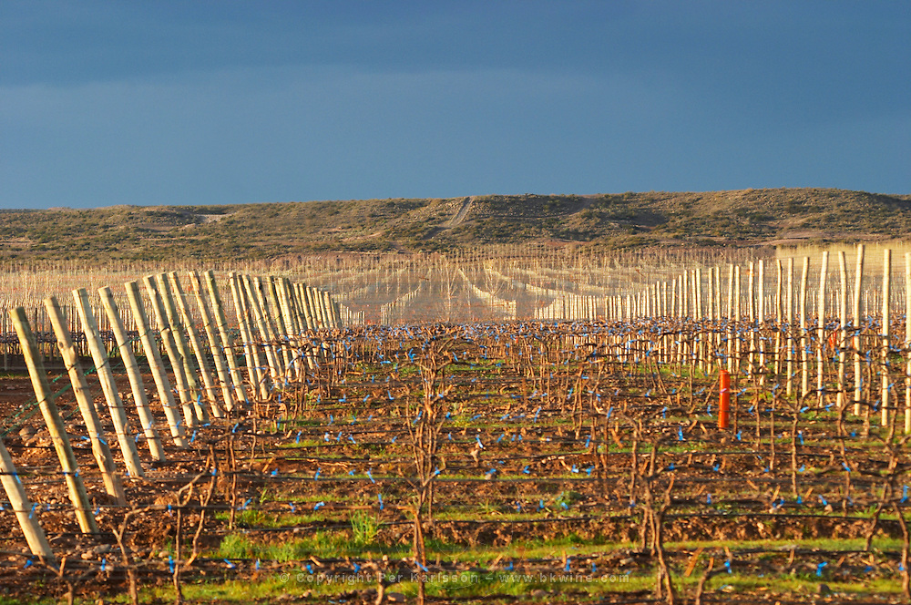 The vineyard in evening sunset. Bodega Del Fin Del Mundo - The End of the World - Neuquen, Patagonia, Argentina, South America