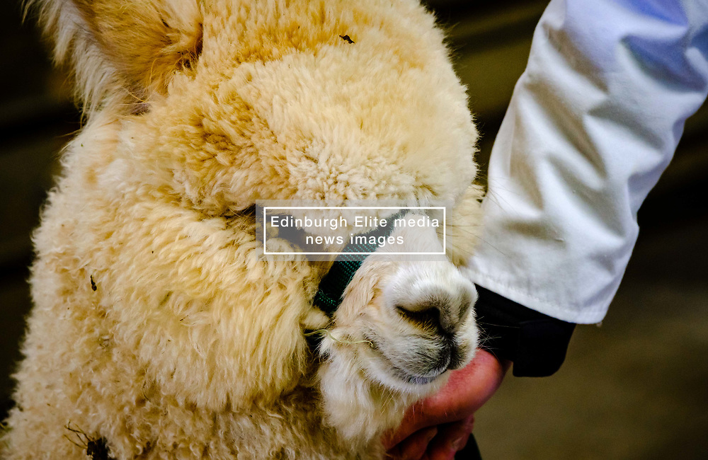 Lanark Scotland 15th April 2017:  The Second Scottish Alpaca Championship, organised by the Scottish Alpaca Group, took place on Saturday 15th April 2017 at Lanark Auction Market. The event had a record entry of 140 alpacas being shown and judged.<br /> <br /> An Alpaca in the show ring with it's handler.<br /> <br /> (c) Andrew Wilson | Edinburgh Elite media