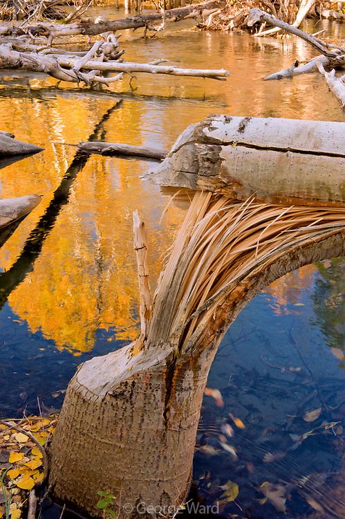 Beaver's Cut Aspen along McGee Creek, Inyo National Forest, Mono County, California