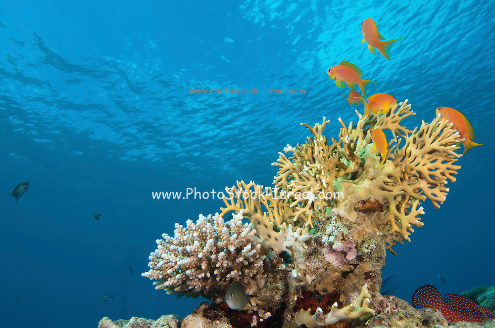 Under water photography of a coral reef eco system Photographed in the Red Sea Israel