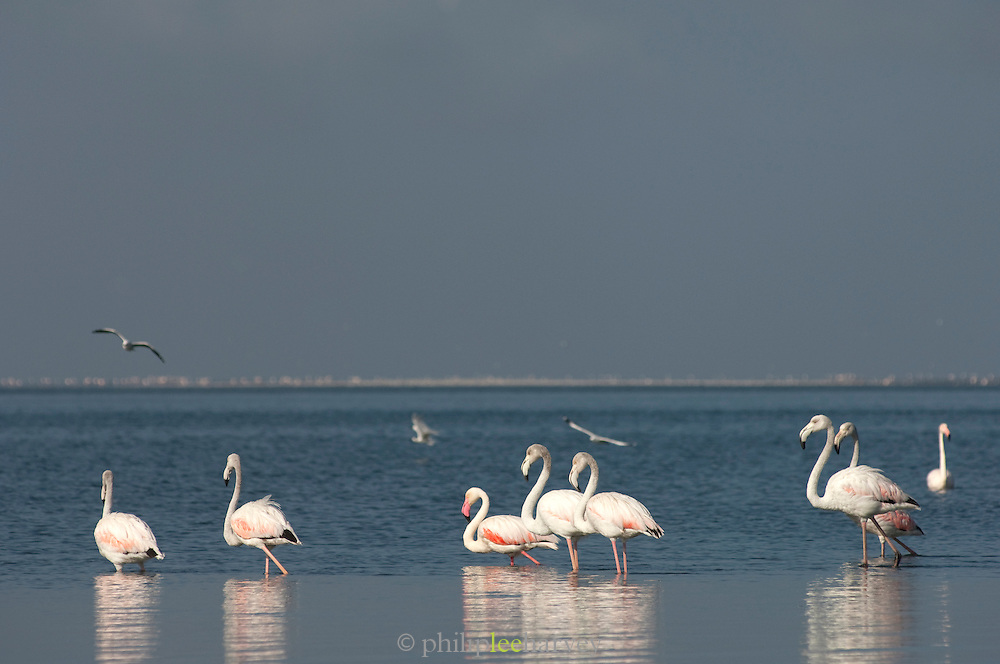 Greater Flamingoes in the water at Walvis Bay, Namibia