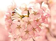Cherry Blossoms at the 2011 Cherry Blossom Festival, Washington DC