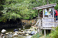 People watching a Black Bear (Ursus americanus) feeding in a stream,   Thornton Fish Hatchery, Ucluelet,  British Columbia, Canada