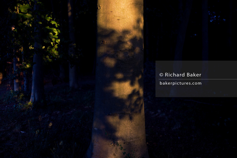 Shadows of branches on a beech tree trunk in late afternoon woodland.