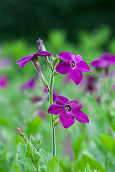 Nicotiana 'Perfume Purple'