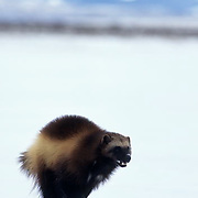 Wolverine, (Gulo gulo) Adult running across Snowy clearing. Winter. Rocky mountains. Montana. Captive Animal.