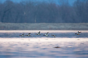 Canvasbacks in flight in early morning light