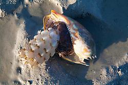 A bailer shell (Melo melo) with egg case on a sandbank at Augustus Island