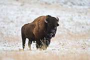 Bison in Yellowstone National Park Wyoming