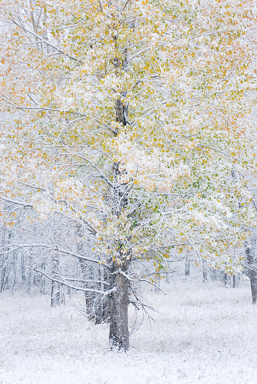 Plains Cottonwood trees (Populus deltoides) cloaked in snow from October snowstorm, Charles M. Russell National Wildlife refuge Montana USA