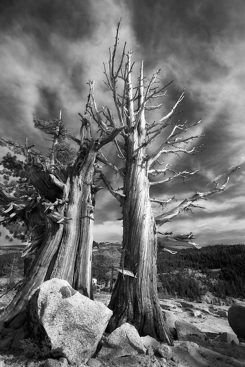In the high country of yosemite, the bristlecone pine trees can be weathered and twisted from the harsh climate. This is an extreme wide angle black and white shot to show the drama of the twisted trees and the cirrus clouds in the background.